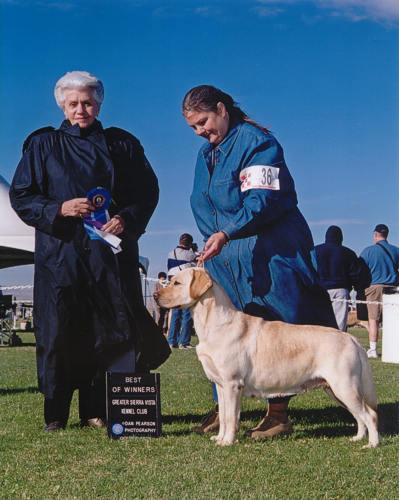 Yellow Lab, Chamois, Best of Winners