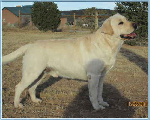 Yellow Labrador, Reserve Best in Show GCh. Ch. Hollywick's Aristes' Maximum Impact