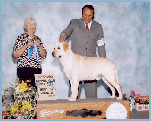 Aristes Flash yellow labrador retriever  best of winners Coronado Kennel Club 2011