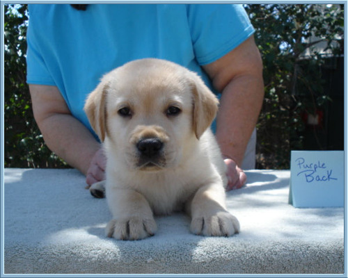 'Flash' Photo at 6 weeks old, Yellow Labrador Retriever Puppy at Aristes' Labrador Retrievers, New Mexico
