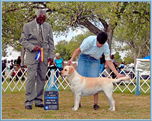 Yellow Labrador Retriever Champion, Best of Breed win, Aristes Labrador Retrievers