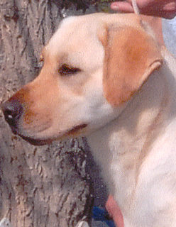 Yellow Lab, Fresca, Head shot, Aristes' Labrador Retrievers