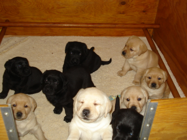 Aristes' Labrador Retriever puppies for Sale