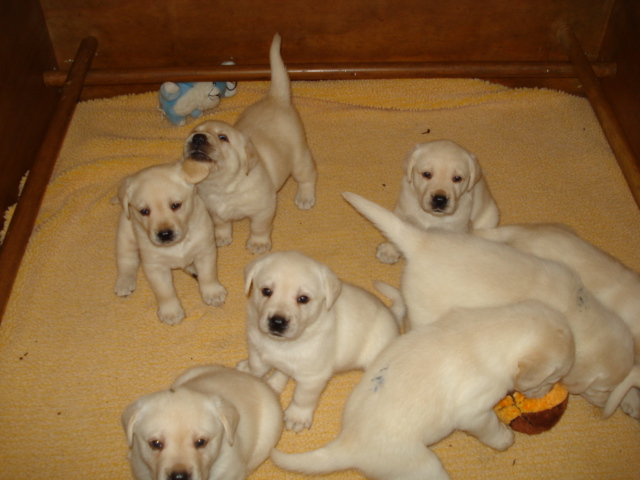 Aristes' Labradors Two Litters of Labrador Puppies, This Litter shown is all yellow. Black lab puppies available in 2nd Litter.