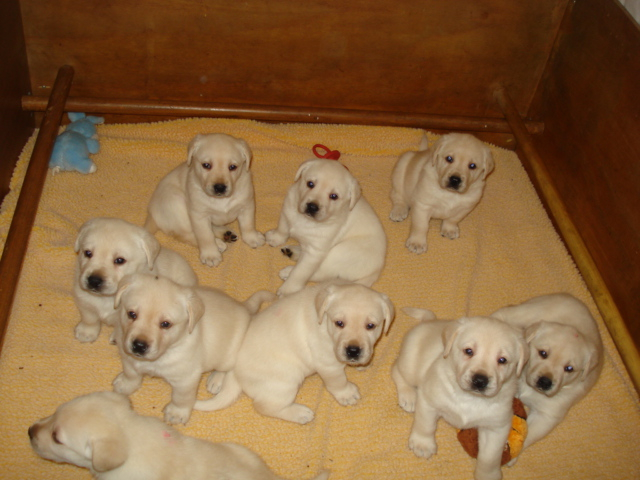 Aristes Labrador Retriever Puppies For Sale