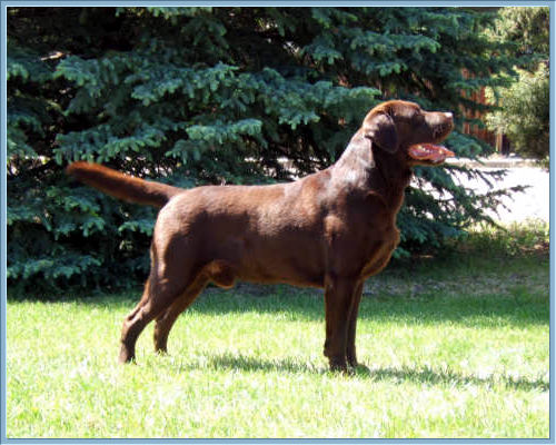 Ch Aristes' Tomahawk Chocolate Lab