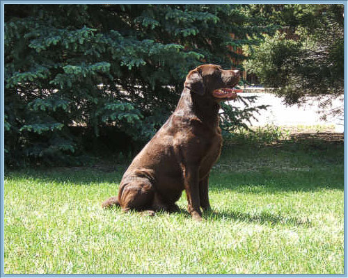 Ch Aristes' Tomahawk Chocolate Labrador Retriever