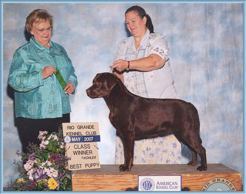 Chocolate Labrador Retriever Hopi at 10 months old, class winner best puppy