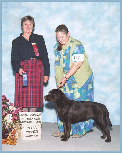 Kachina Chocolate Labrador Retriever at 14 months old, Class winner