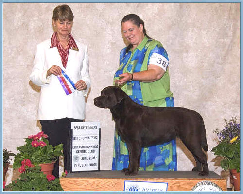 Aristes Chocolate Labrador Retriever Kachina, Best of Winners, Best of Opposite Sex
