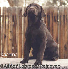 Aristes' Labrador Retrievers Chocolate Lab puppy Kachina at 4 months old, sit