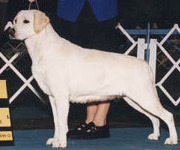Yellow Labrador Retriever Ch Aristes' Jess-Mor's Destiny