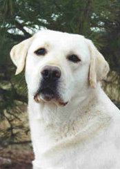 Yellow Labrador Retriever Ch Hollywick's Main Attraction CGC