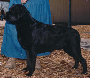 Ch Aristes' Starry Starry Knight Black Labrador Retriever