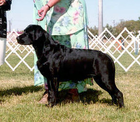 Silky - Am, Can Ch Aristes' Secret of Roann Innish - Black Labrador Retriever