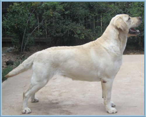 Aristes' Sparkling Soda , Yellow Labrador Retriever