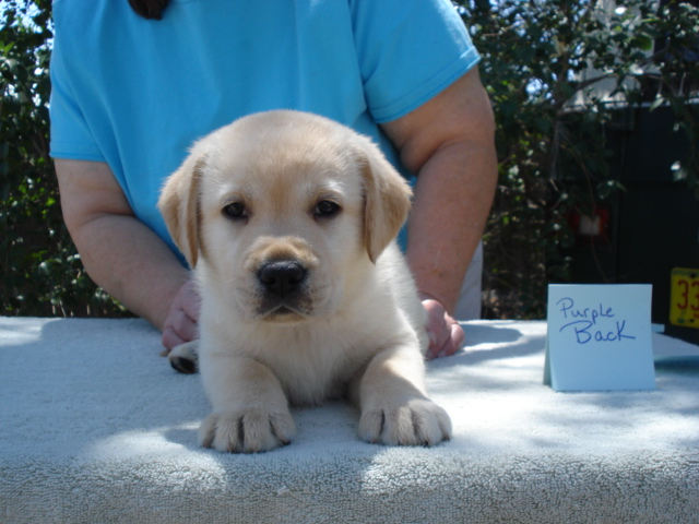 Photo at 6 weeks old, Back Boy Yellow Labrador Retriever Puppy available for sale at Aristes' Labrador Retrievers, New Mexico