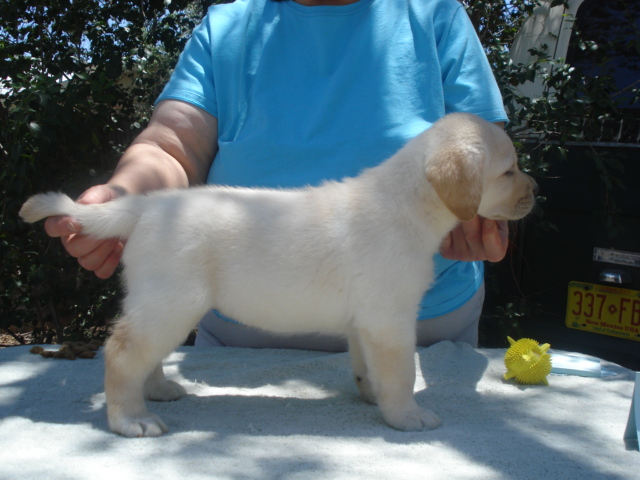 Female Back Girl Yellow Labrador Retriever puppy for sale at Aristes Labrador Retrievers, Albuquerque, NM