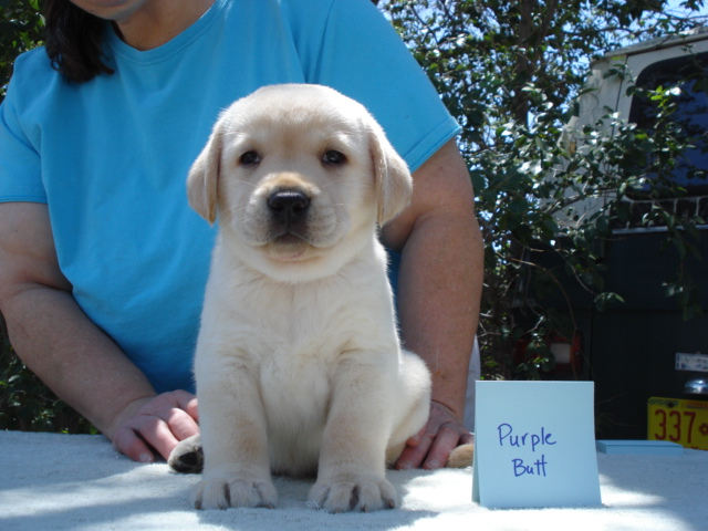 Butt Boy, Yellow Labrador Retriever puppy for sale, Albuquerque, New Mexico