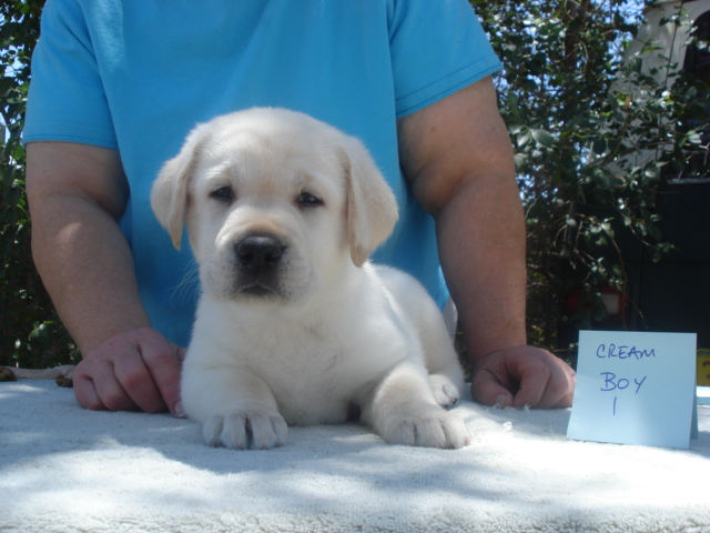 Cream male Labrador Retriever Puppy for sale at Aristes' Labrador Retriever Breeder, Albuquerque