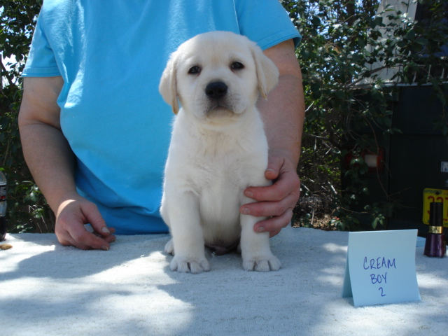 Cream Labrador Retriever Puppy for sale at Aristes' Labrador Retriever Breeders, Albuquerque