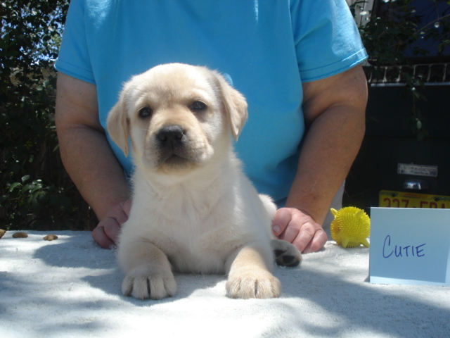 Cutie, Female Yellow Labrador Retriever for sale, Aristes' Labradors, New Mexico