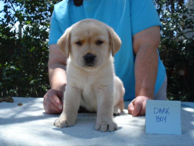 Dark Boy, Male Yellow Labrador Retriever Puppy for sale at Aristes' Labradors, Albuquerque, New Mexico