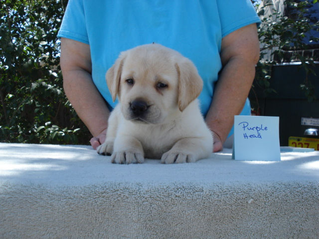 Head Boy, Yellow Male Labrador Puppy for sale at AristesLabradorRetrievers.com, Albuquerque, NM