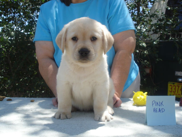 Female Labrador Puppy for sale at Aristes Labrador Retrievers, Albuquerque, New Mexico, Head Girl