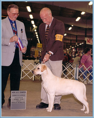 Yellow Lab Champion, Aristes Rose, New AKC Champion