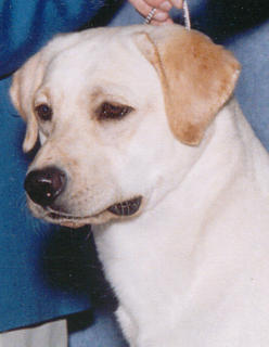 Ch Aristes' Desert Rose, Yellow Labrador Retriever