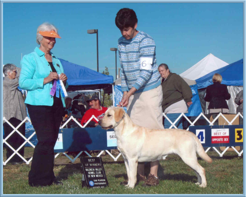Aristes' Sparkling Soda Yellow Labrador Retriever wins Best of Winners