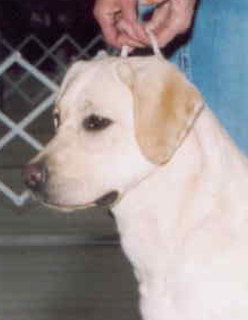 Aristes' Sparkling Soda Yellow Labrador Retriever