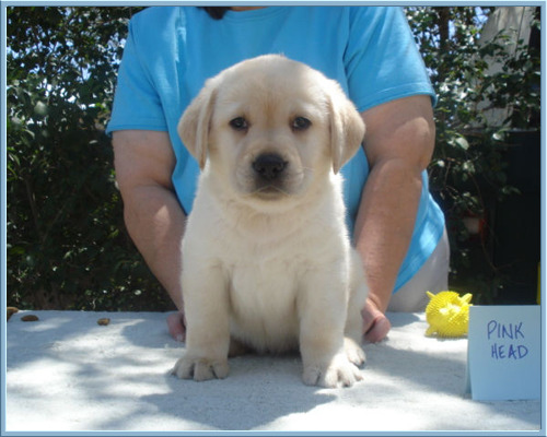 'Soda' aka 'Poppy' Female Labrador Retriever at Aristes Labrador Retrievers, Albuquerque, New Mexico