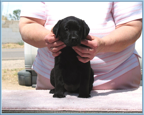 "ID ""Little"" Black Labrador Retriever Female 'Zia' at Aristes' Labrador Retrievers"